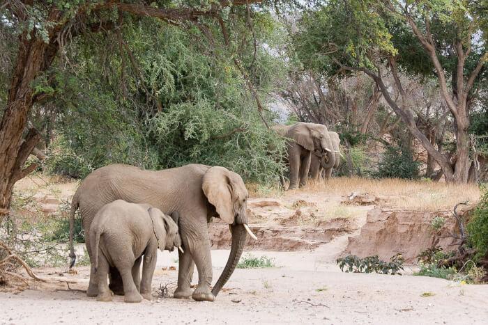 1200px-Desert_elephants_in_the_Huab_River-1507477151.jpg