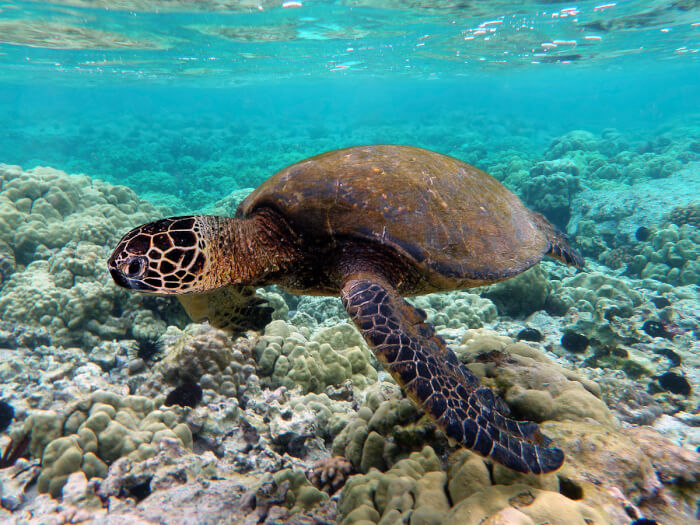 1200px-Green_turtle_swimming_over_coral_reefs_in_Kona-1507477632.jpg