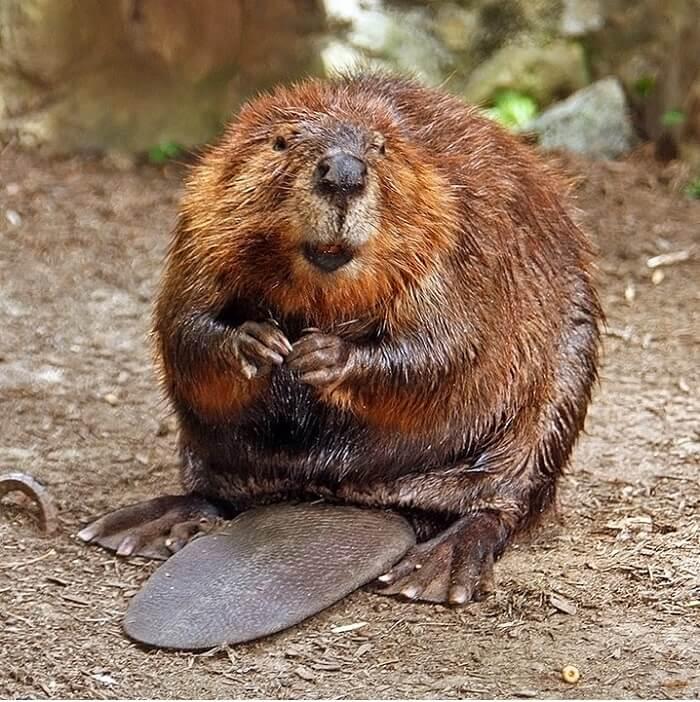 American_Beaver-1497527610.jpg