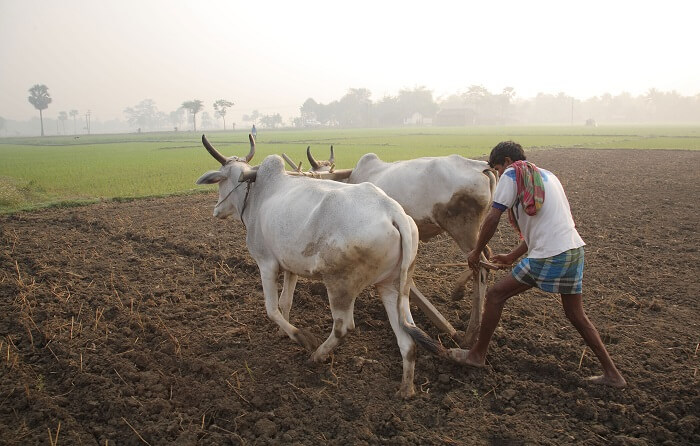 Ploughing_with_cattle_in_West_Bengal-1504169287.jpg