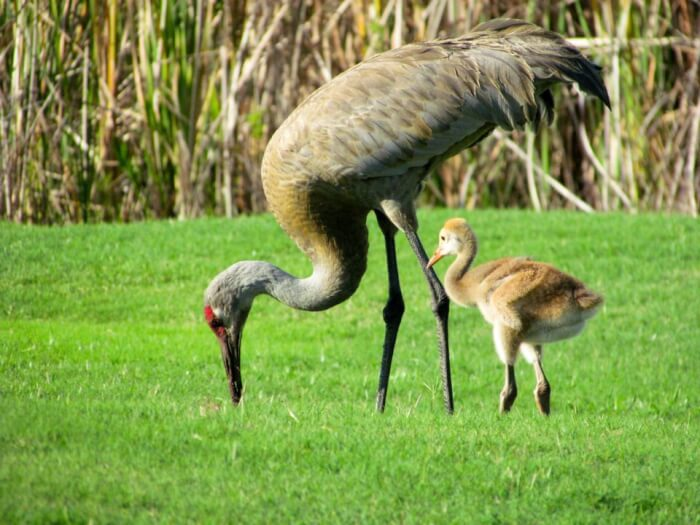 Sandhill_Crane_with_Chick-1507477374.jpg