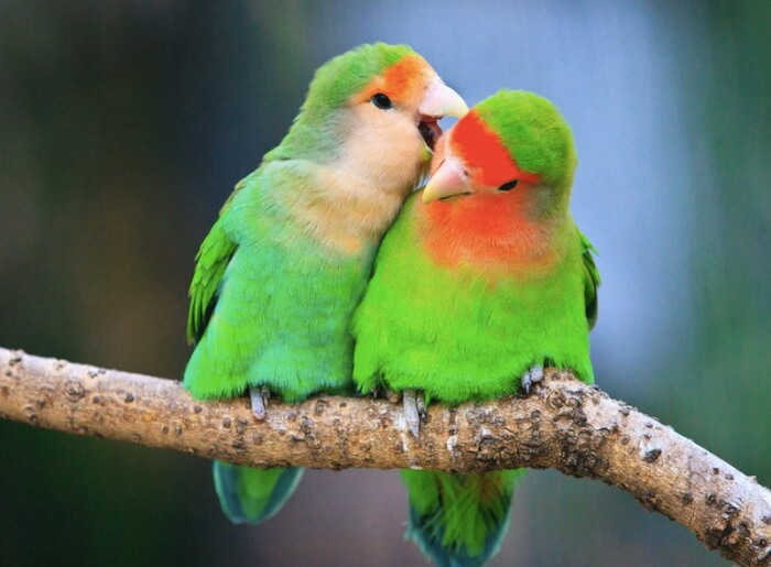 Two-Peace-faced-Lovebirds-Photo-By-Feng-Wei--1514012974.jpeg
