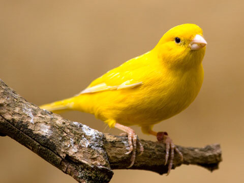 Yellow-Canary-Bird-Images-1514012905.jpg