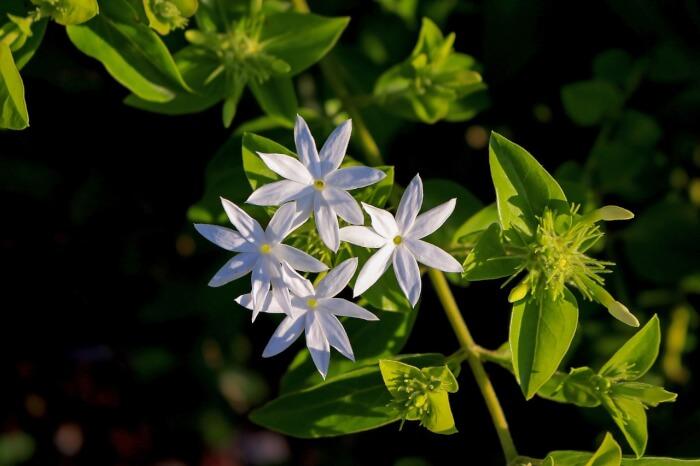 jasmines-star-1706906_1280-1506175164.jpg
