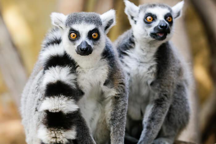 lemur-1530773367.jpg