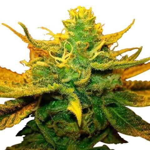 mango-kush-seeds-fem_large-1538468068.jpg