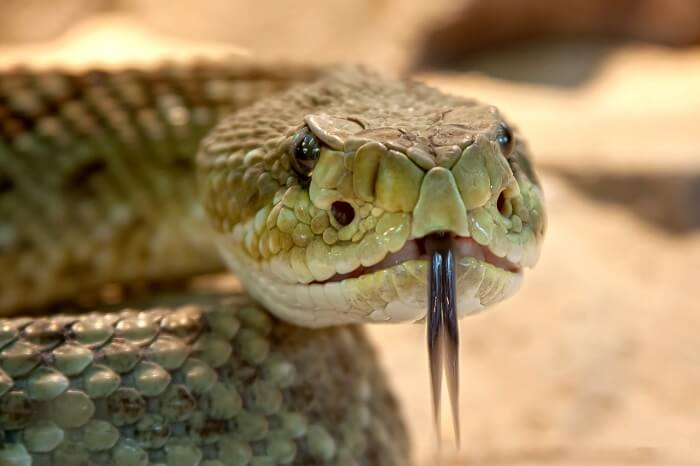 rattlesnake-653642_1280-1496951536.jpg
