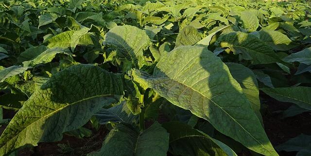 tobacco-1831786_640-1510571230.jpg